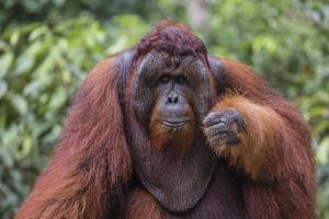 Reintroduced Flanged Male Orangutan (Pongo Pygmaeus), Indonesia by Michael Nolan