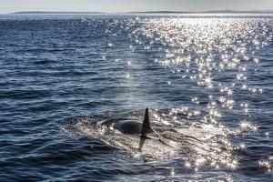 Resident Killer Whale by Michael Nolan