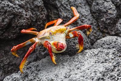 Sally Lightfoot Crab (Grapsus Grapsus) Preparing to Shed its Exoskeleton in Urbina Bay by Michael Nolan