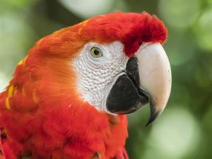 Scarlet macaw (Ara macao), Amazon Rescue Center, Iquitos, Peru by Michael Nolan