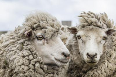 Sheep Waiting to Be Shorn at Long Island Sheep Farms, Outside Stanley, Falkland Islands by Michael Nolan