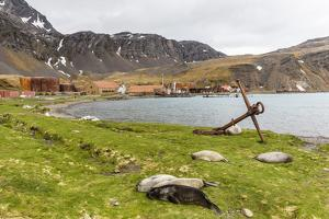 Southern Elephant Seal Pups (Mirounga Leonina) after Being Weaned, Grytviken Harbor, South Georgia by Michael Nolan