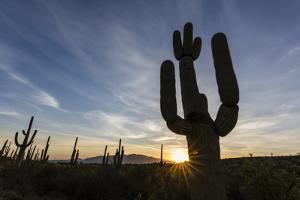 Sunrise on saguaro cactus in bloom (Carnegiea gigantea), Sweetwater Preserve, Tucson, Arizona, Unit by Michael Nolan