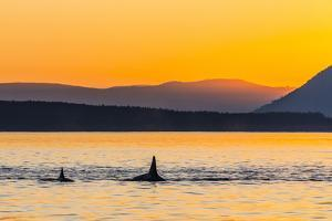 Transient Killer Whales (Orcinus Orca) Surfacing at Sunset by Michael Nolan