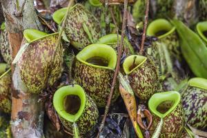 Tropical Pitcher Plants (Nepenthes Spp, Malaysia by Michael Nolan