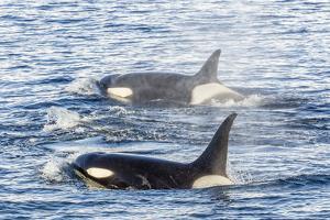 Type a Killer Whales by Michael Nolan