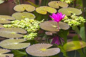 Water-Lilies by Michael Nolan