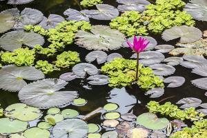 Water-Lilies by Michael Nolan
