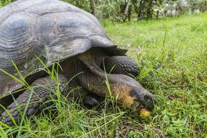 Wild Galapagos Giant Tortoise (Chelonoidis Nigra) Feeding by Michael Nolan