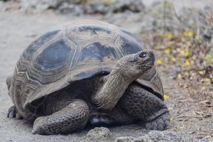 Wild Galapagos Giant Tortoise (Chelonoidis Nigra) in Urbina Bay by Michael Nolan