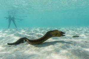 Yellowmargin Moray Eel (Gymnothorax Flavimarginatus) Underwater on Pink Sand Beach by Michael Nolan