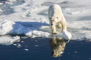 Young Adult Polar Bear (Ursus Maritimus) on Ice in Hinlopen Strait by Michael Nolan