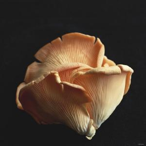 Oyster Mushrooms by Michael Paul