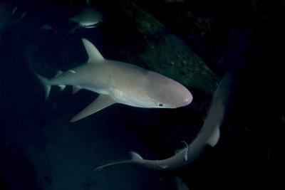 Reef Shark - Carcharhinius Perezii. on Wreck at Night. Bahamas. Caribbean