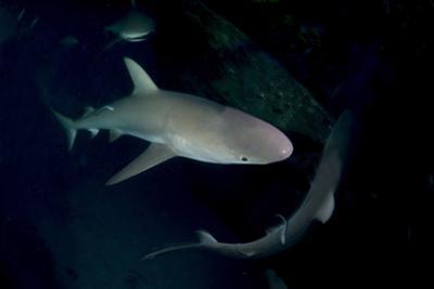Reef Shark - Carcharhinius Perezii. on Wreck at Night. Bahamas. Caribbean by Michael Pitts