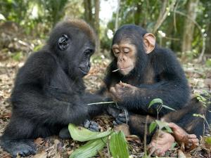 Baby Gorilla and a Chimpanzee Examining Leaves by Michael Polzia