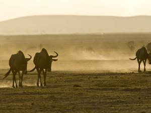 Backlit View of Wildebeests Walking Away by Michael Polzia