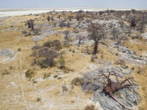 Baobab Trees on Kubu Island in the Makgadikgadi Pans National Park by Michael Polzia