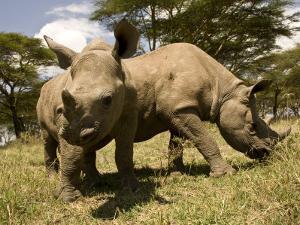 Black and White Rhinoceros Calves by Michael Polzia