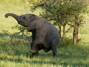 Dancing Baby Elephant by Michael Polzia