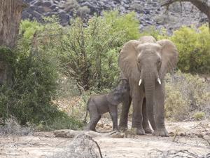 Elephant Feeding Her Newborn Calf by Michael Polzia