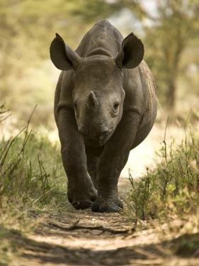 Elvis, a Black Rhino Calf by Michael Polzia
