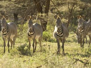 Four Zebras Stare at the Camera by Michael Polzia