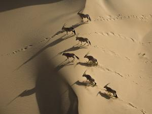 Gemsbok Crossing Sand Dunes in the Desert Near the Skeleton Coast by Michael Polzia