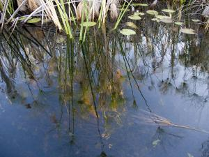 Grasses and Water Lily Pads and Reflections of the Sky by Michael Polzia