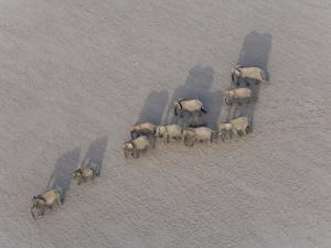 Herd of Elephants Cast Shadow as They March in a Desert by Michael Polzia