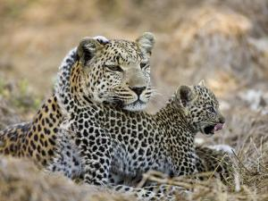 Leopard Cub under the Watchful Eye of its Mother by Michael Polzia
