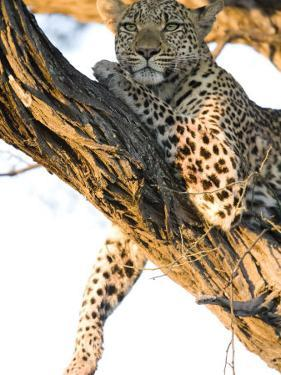 Leopard in a Tree by Michael Polzia