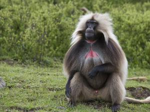Male Gelada Baboon (Therapithecus Gelada) by Michael Polzia