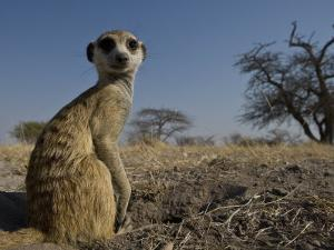 Meerkat (Suricatta Suricatta) Sitting Up by Michael Polzia