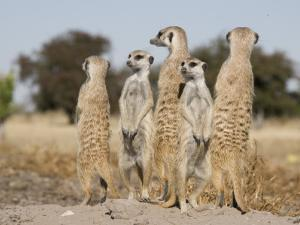 Meerkats on the Edge of the Makgadikgadi Pans by Michael Polzia