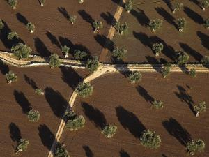 Olive Trees in Fields Forming a Light and Dark Pattern by Michael Polzia