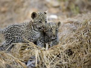 Pair of Leopard Cubs by Michael Polzia