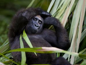 Portrait of a Gorilla by Michael Polzia