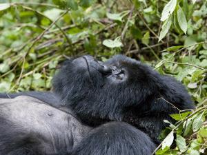 Portrait of a Resting Mountain Gorilla Belonging to Group 13 by Michael Polzia
