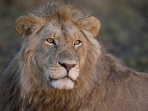Portrait of a Scar Faced African Male Lion by Michael Polzia