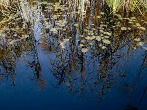 Reeds and Water Lily Pads and Reflections of the Sky by Michael Polzia