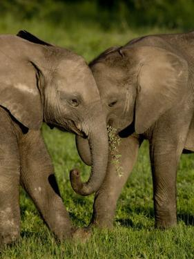 Two Baby Elephants Frolicking in the Bush by Michael Polzia