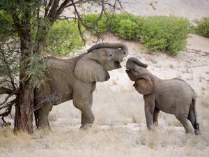 Two Elephants Lift their Trunks as They Play by Michael Polzia
