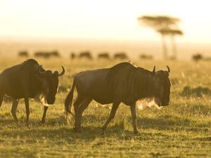Two Wildebeest Walking in the Morning Sun, a Herd in the Background by Michael Polzia