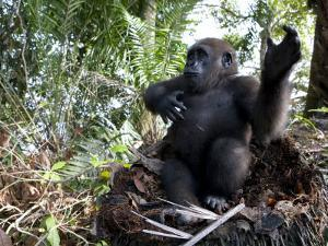 Young Gorilla in a Nest by Michael Polzia