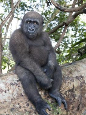 Young Gorilla Sitting on a Log by Michael Polzia