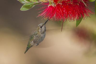 Annas Hummingbird in Flight. Sipping Nectar from a Bottle Brush