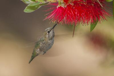 Annas Hummingbird in Flight. Sipping Nectar from a Bottle Brush by Michael Qualls