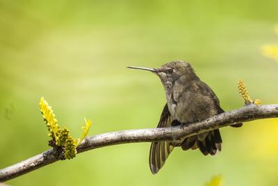 Annas Hummingbird Perched on the Branch of a Honey Locust Tree