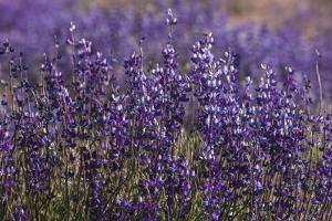 Big Pine Creek Hillside, Eastern Sierra, California. Fields Lupine by Michael Qualls